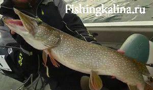 Как отыскать крупную рыбу щуку