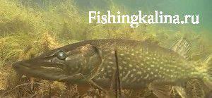 Хищная рыба на живца