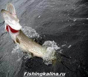 Ловля крупной рыбы щуки