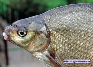 Рыбачим на леща река Днепр