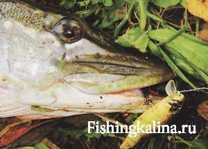 Советы по ловле хищной рыбы