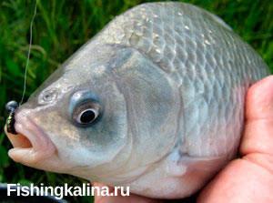 Вездесущая рыба карась - как поймать