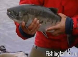 Ловля лосося на Камчатке