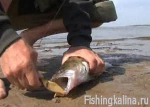 Рыбалка донками на судака