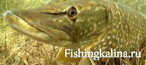 Щука рыба красавица