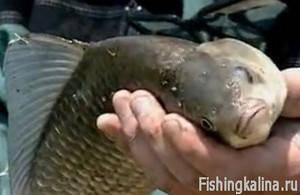 Рыбалка на карася в Кубани