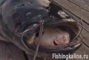 Как с квоком рыбачить на сома