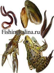 Наживки применяемые для успешной на сома рыбалки