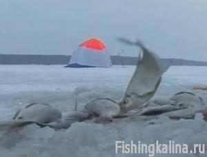 толстолобик зимой поймать