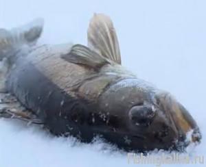 Зимняя рыбалка на судака в Барсуково