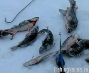 Ловля зимой на Рыбинском водохранилище окуня