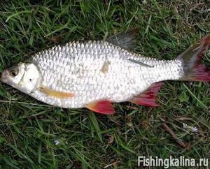 Рыбалка ловля плотвы весной
