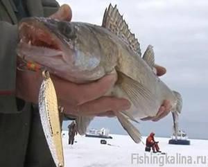 Ловля на Рыбинском водохранилище судака со льда