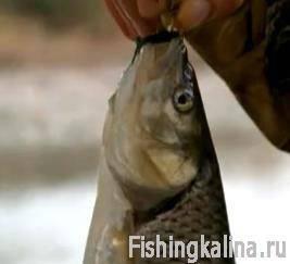 Рыба голавль поймана на реке Кубань