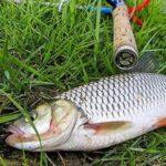 Рыба голавль ловля на реке Кубань