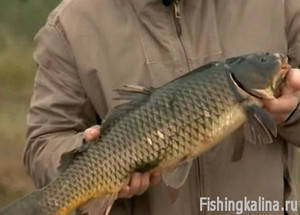 Сазан - как ловить эту рыбу