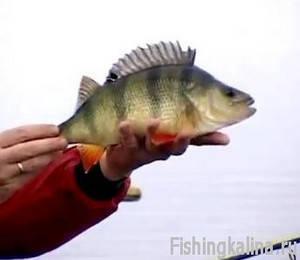 Рыбалка на окуня - ловля окуня на спиннинг и живца