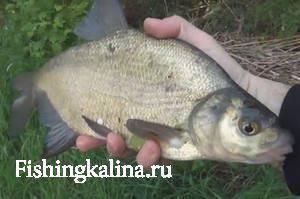 Рыба подлещик фото