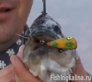 Рыба на поверхностную приманку