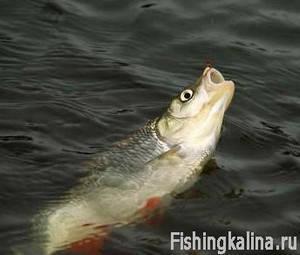 Рыбалка осенью на голавля удочкой