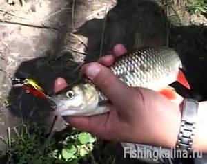 Ловля рыбы голавля