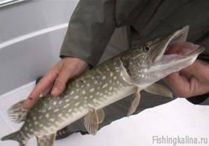 Ловля щуки на рыбалке в Астраханской области
