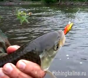 Рыбалка в Курской области - ловля голавля
