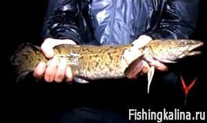 Как поймать рыбу налим