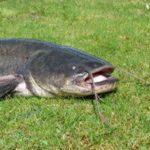 Рыба сом особенности жизни