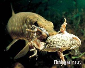 Рыбалка на Волге - ловля щуки на приманку лягушка
