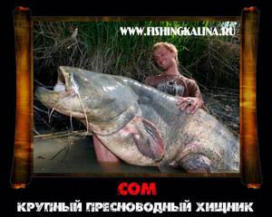 Сом крупная рыба