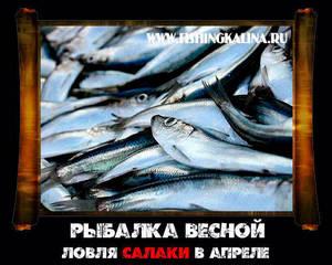 Ловля салаки в Калининградской области