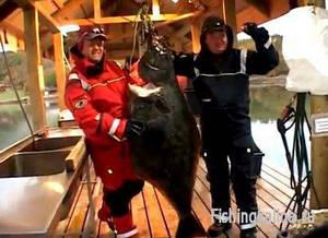 Такого палтуса ловят любители рыболовы в Норвегии