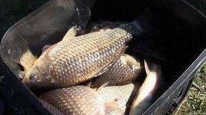 Караси пойманы летом на мормышку удочкой с кивком