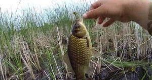 Рыба карась на мормышку летом на удочку с боковым кивком