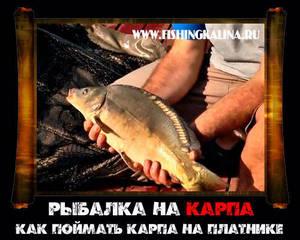 Успешная рыбалка на карпа на платнике
