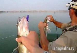 Рыбалка на судака летом спиннингом