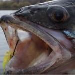 Судак на джиг на осенней рыбалке