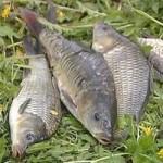 Карповая осенняя рыбалка нахлыстом