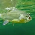 Рыба хариус как ловить на спиннинг