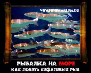 Рыба кефаль семейсво кефалевых