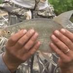 Как на водохранилище ловить успешно леща