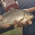 Как на мелководье поймать карася удочкой