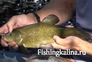 Рыба линь как ловить