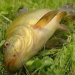Секреты рыбалки на линя поплавочными снастями