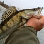 Рыба судак на самодельную блесну