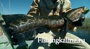 Змееголов рыба как ловить