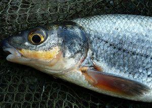 Как ловить и поймать рыбу рыбец на искусственные приманки