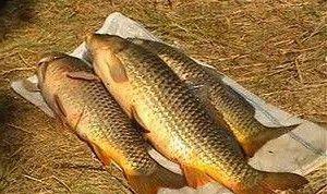 Рыба сазан на снасть кольцо