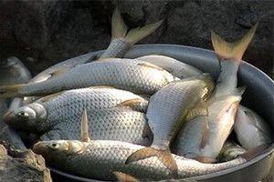 Ловля воблы советы рыбакам